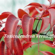 Toxicodendron vernicifluum extract sulphuretin fights obesity and metabolic diseases
