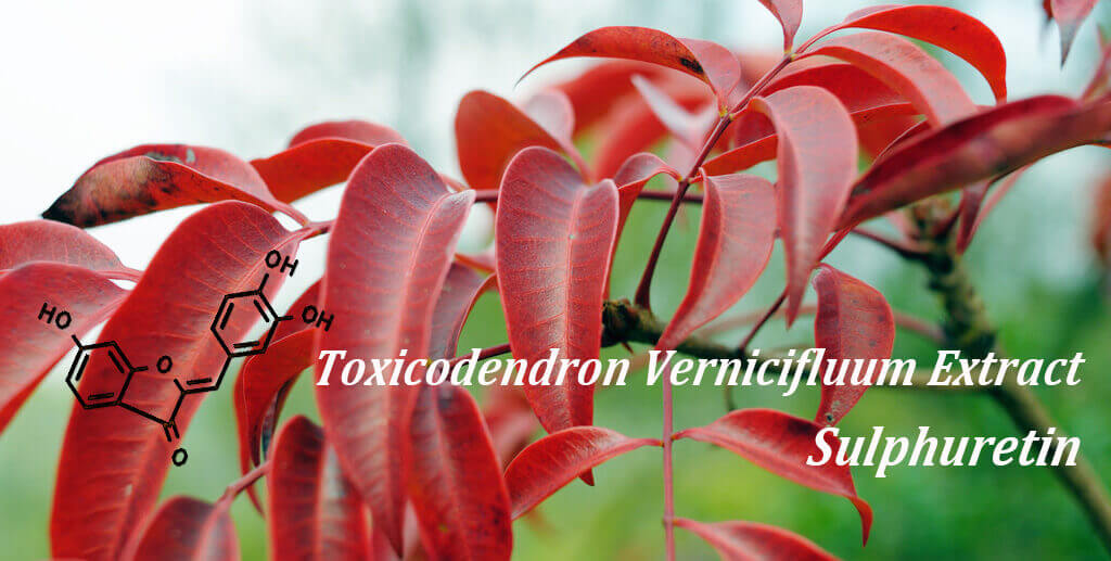 Toxicodendron vernicifluum extract sulphuretin fights obesity and metabolic diseases
